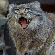 Holycat